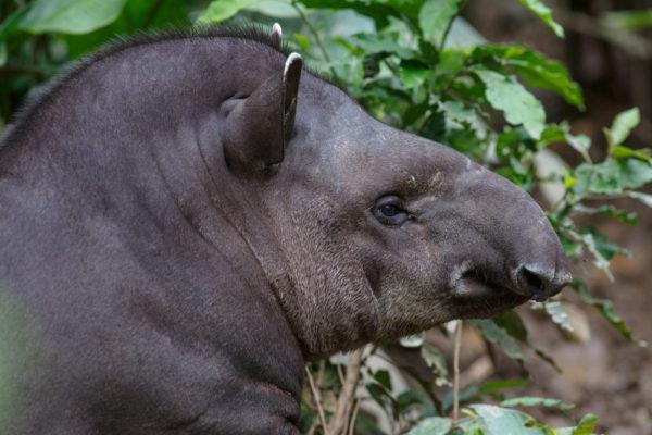 Artenschutzurkunde Tapir